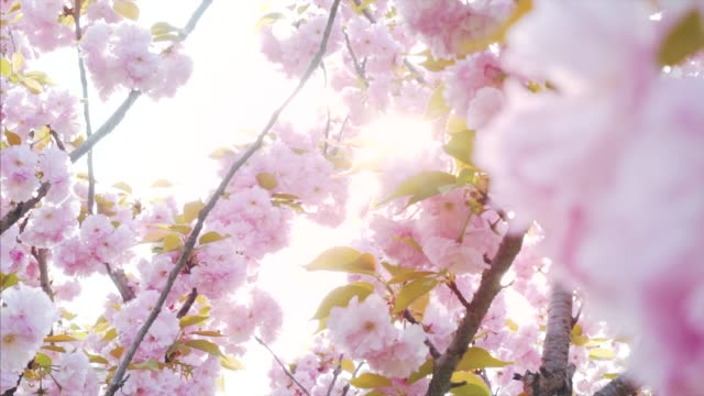 ethereal moments in nature. - cherry blossom stock videos & royalty-free footage