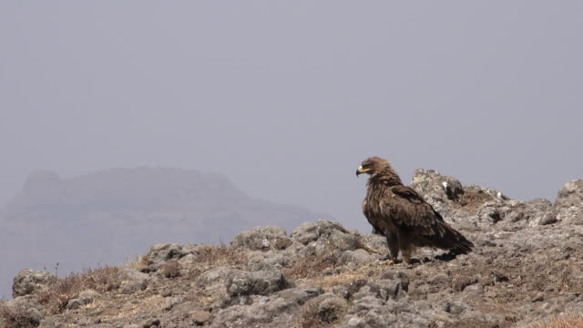 Ethiopian eagle rests on cliff in the simian mountains