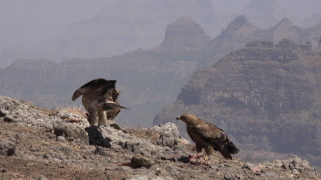 Ethiopian eagles fighting over head of a goat in the simian mountains