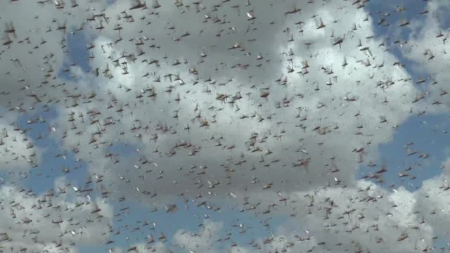 ethiopian farmers officials battling against swarms of desert locusts in ethiopia's somali state speaking to anadolu agency abdi aden abdi director... - east africa stock videos & royalty-free footage