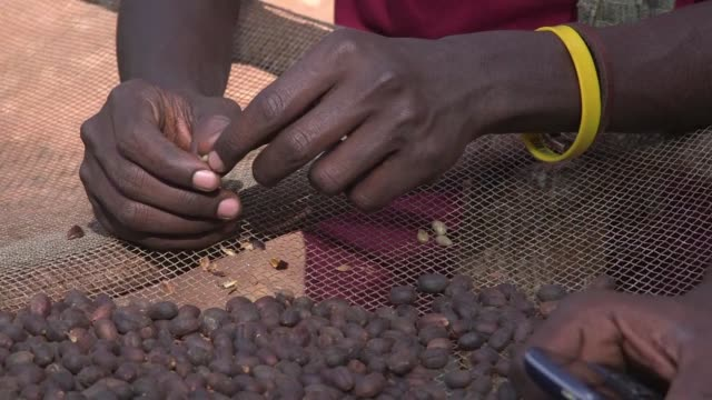 ethiopian wild coffee beans are doing more than just feeding the local baboons they are providing a livelihood for local famers finding a market in... - corno d'africa video stock e b–roll
