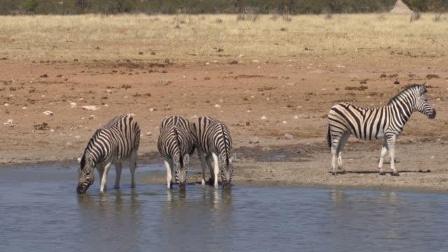 etosha national park - tierfarbe stock-videos und b-roll-filmmaterial
