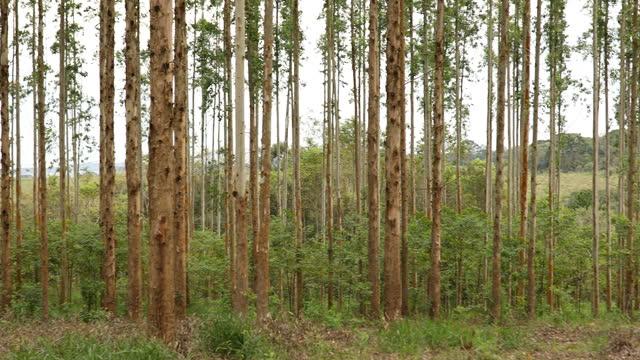 vidéos et rushes de forêt d'eucalyptus - arbre tropical