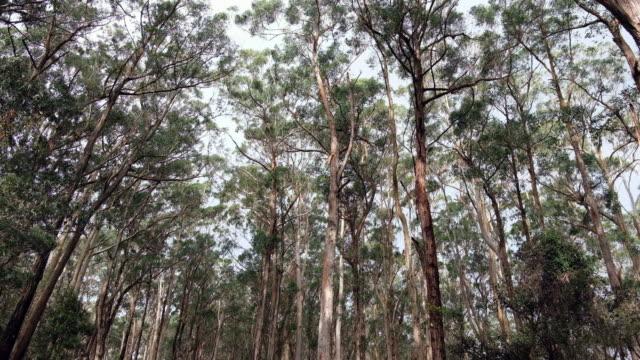 eucalyptus tree in australia. - tall high stock videos & royalty-free footage