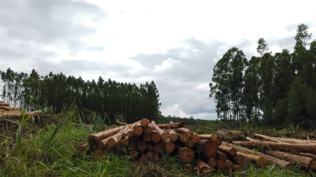 eucalyptus tree logs at a farm. - brazil stock videos & royalty-free footage