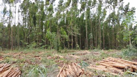 eucalyptus tree logs at a farm. - pine tree stock videos & royalty-free footage