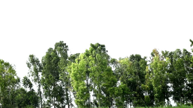 eucalyptus trees - blowing stock videos and b-roll footage