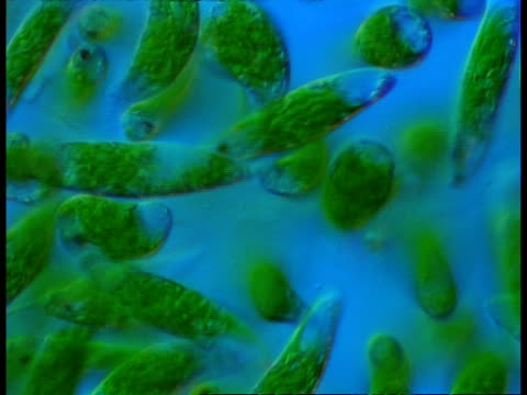 euglena (flagellated protozoans), blue background - animale microscopico video stock e b–roll
