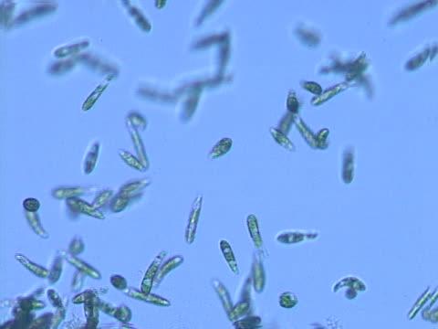 vídeos de stock, filmes e b-roll de euglena protists - ciliado
