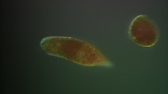 euglena swimming - unicellular organism stock videos and b-roll footage