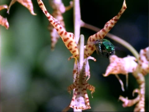 euglossine bee, ms bee hovers at and collect pollen from gongora orchid, panama. - orchid stock videos & royalty-free footage