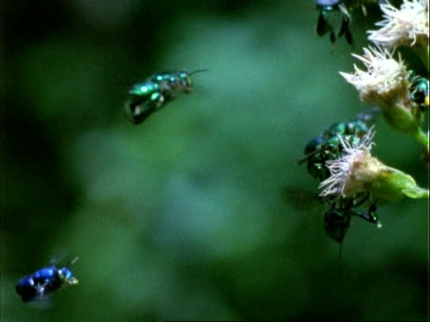 vidéos et rushes de euglossine bee, h/s ms bees hovering by flowers, green background, panama. - groupe moyen d'animaux