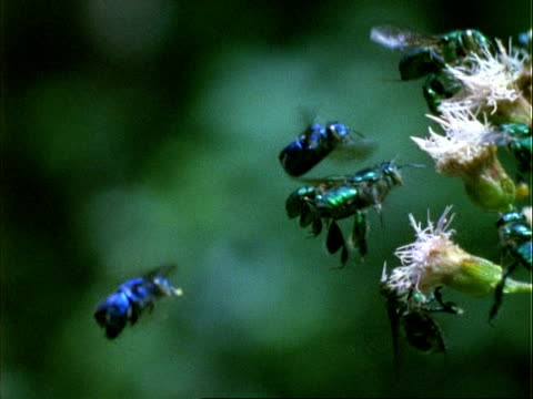 vídeos y material grabado en eventos de stock de euglossine bee, h/s ms bees hovering by flowers, green background, panama. - grupo pequeño de animales