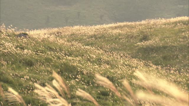 eulalia grass in the evening sun in the akiyoshidai plateau - satoyama scenery stock videos & royalty-free footage