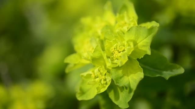 euphorbia polychroma flower head - flowering plant stock videos & royalty-free footage
