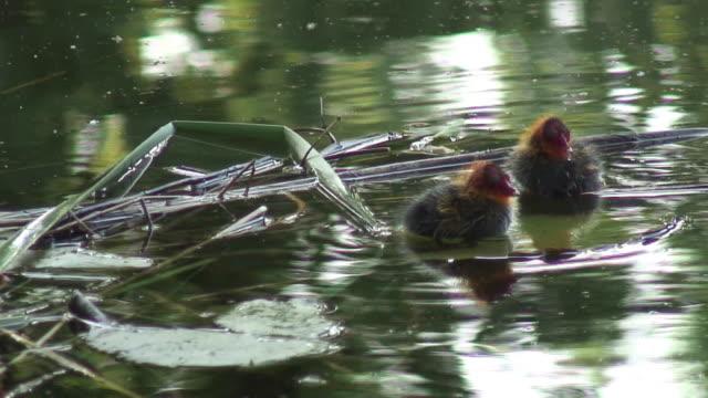 eurasia indianerblässhuhn 19-hd 1080 60i / - wasservogel stock-videos und b-roll-filmmaterial