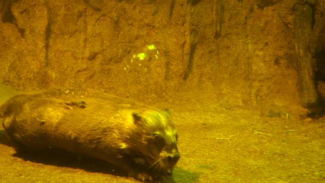 eurasian beaver (castor fiber) or european beaver, russia - limb body part stock videos & royalty-free footage