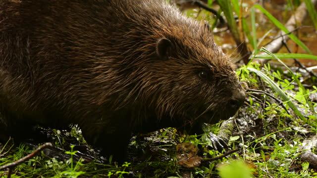 eurasian beaver (castor fiber) or european beaver, russia - beaver stock videos & royalty-free footage