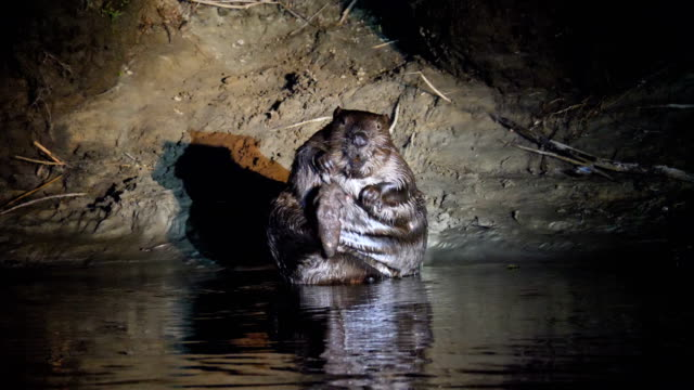 eurasian beaver sitting and scratching along river at night - biber stock-videos und b-roll-filmmaterial