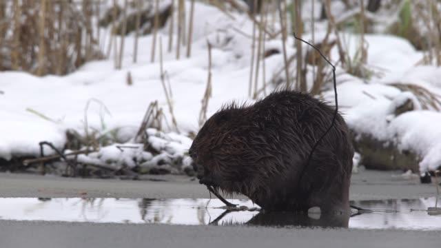 eurasian beaver (castor fiber) - beaver stock videos & royalty-free footage