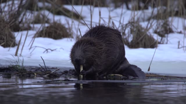eurasian beaver (castor fiber) - work tool stock videos & royalty-free footage