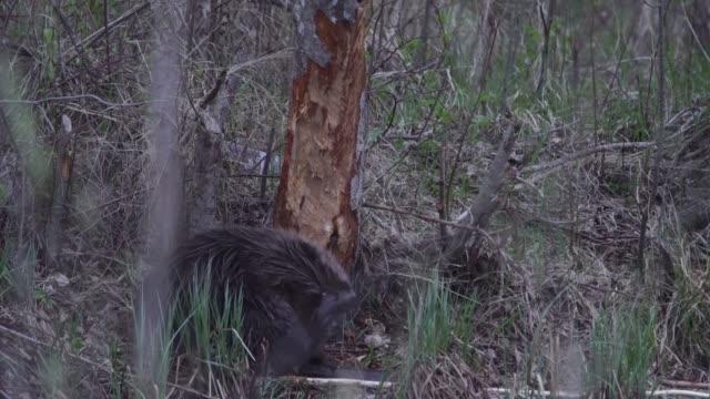 vidéos et rushes de castor eurasien (fibre de ricin) - castor rongeur