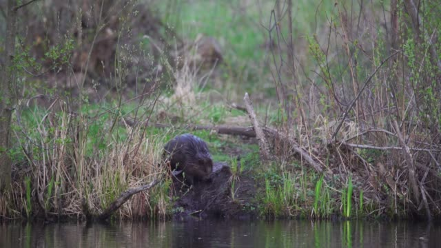 eurasian beaver (castor fiber) - beaver stock videos & royalty-free footage
