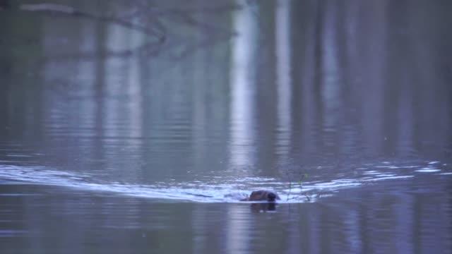 eurasian beaver (castor fiber) - limb body part stock videos & royalty-free footage