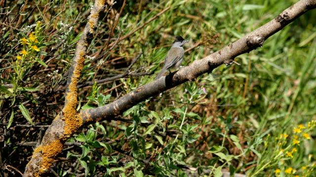 eurasian blackcap -sylvia atricapilla in natural habitat - ムシクイ類点の映像素材/bロール