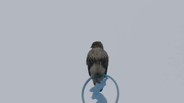 vídeos de stock, filmes e b-roll de a eurasian buzzard is sitting on model of blue map of korea - leste