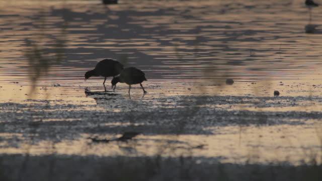 stockvideo's en b-roll-footage met f/s eurasian coots pecking in the mud, wetland - koet