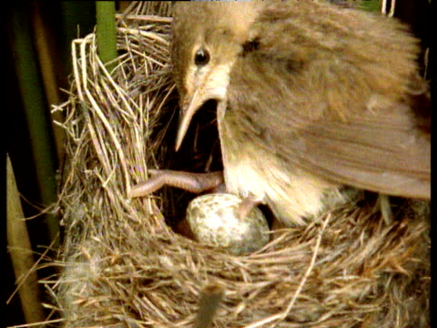 eurasian cuckoo chick pushes reed warbler egg out of nest from under adult reed warbler, uk - crime and murder stock videos & royalty-free footage