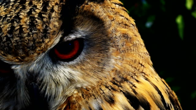 vídeos de stock e filmes b-roll de eurasian eagle owl  close-up 4k - olho de animal