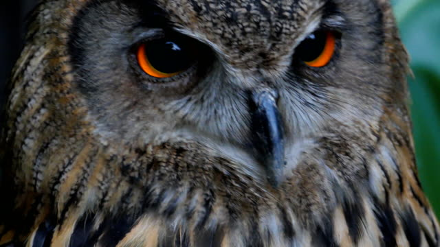 eurasian eagle owl - alertness stock videos & royalty-free footage
