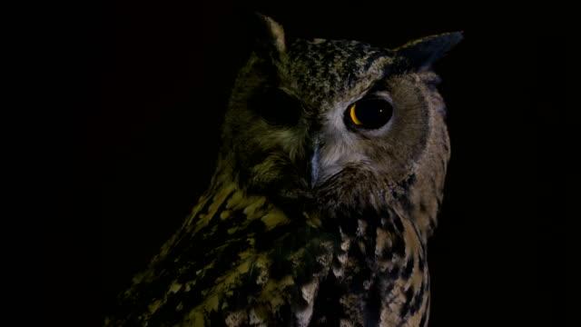 stockvideo's en b-roll-footage met eurasian eagle-owl (bubo bubo) - uil
