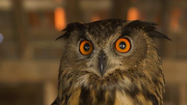 stockvideo's en b-roll-footage met eurasian eagle-owl.4k - uil