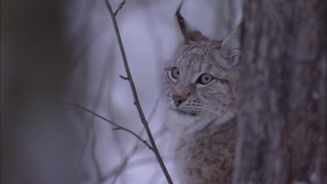 vidéos et rushes de eurasian lynx looks around in snowy boreal forest, sweden - lynx