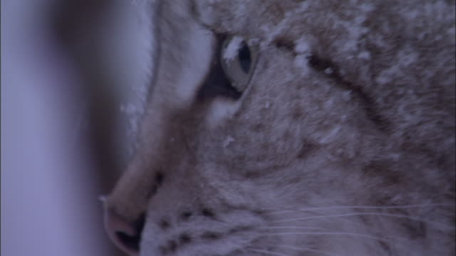 eurasian lynx looks around in snowy boreal forest, sweden - sweden stock videos & royalty-free footage