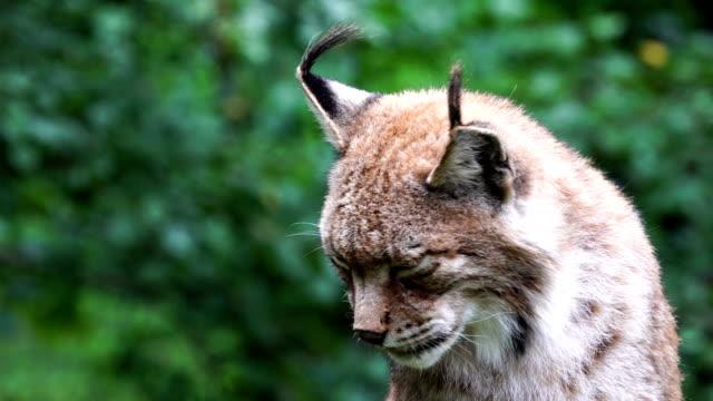 vidéos et rushes de portrait de lynx d'eurasie - lynx