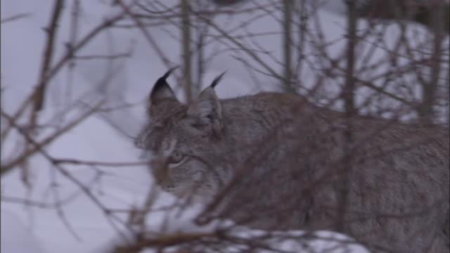 vidéos et rushes de eurasian lynx prowls through snowy boreal forest, sweden - lynx