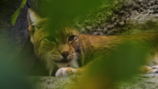 eurasian lynx (lynx lynx) - russia - endangered species stock videos & royalty-free footage