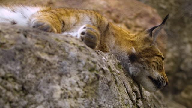 ユーラシアリンクス (リンクスリンクス) - ロシア - 動物の足点の映像素材/bロール