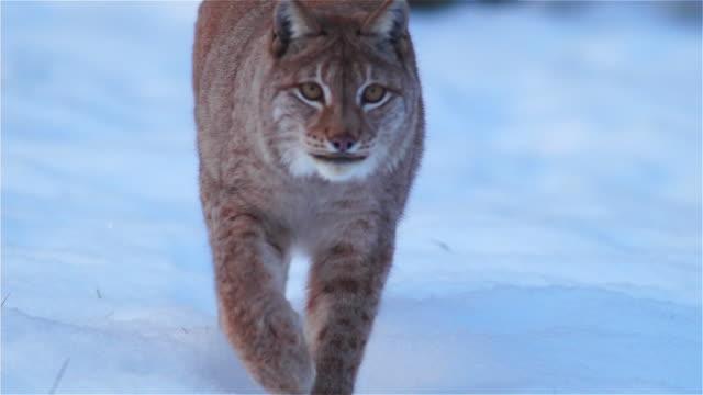 vidéos et rushes de lynx d'eurasie - lynx