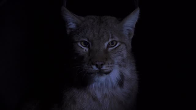 eurasian lynx (lynx lynx) - animal eye stock videos & royalty-free footage