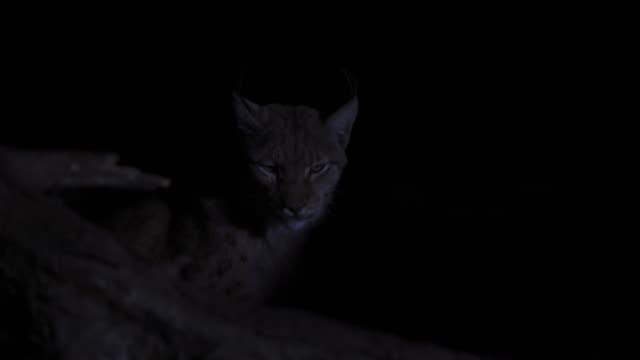 eurasian lynx (lynx lynx) - dark stock videos & royalty-free footage