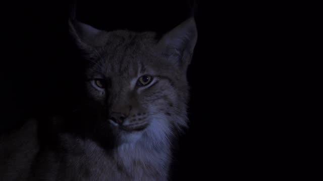 eurasiska lodjur (lynx lynx) - djuröga bildbanksvideor och videomaterial från bakom kulisserna