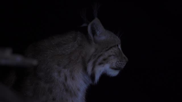 eurasian lynx (lynx lynx) - iucn red list stock videos & royalty-free footage