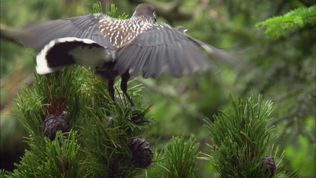 eurasian nutcracker landing and sitting on an arolla pine - pinecone stock videos & royalty-free footage