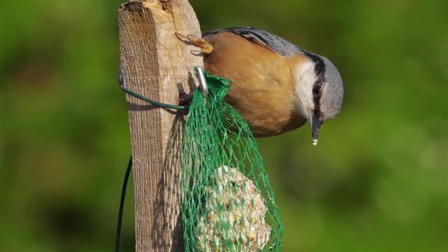 vídeos y material grabado en eventos de stock de eurasian nuthatch or wood nuthatch, (sitta europaea) eating on a birdfeeder - baño para pájaros