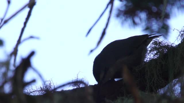 eurasische kleiber (sitta europaea) - kaukasus geografische lage stock-videos und b-roll-filmmaterial